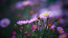 Beautiful Floral Background Of Autumn Flowers. Santbrink Asters Virgin Variety Amethyst Color Purple Or Violet Petals.