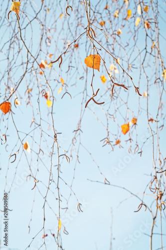 Obraz na plátně  Birke im Herbst