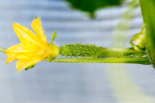 Squash Blossoms And Fruits Gro...