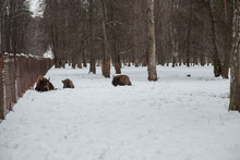 Bison Family Grazing In The Re...