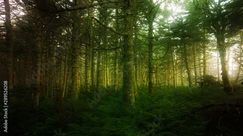 Fototapeten Wald An early morning view of sunlight shining through a misty coniferous forest.