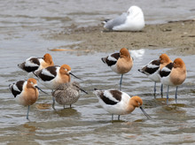 Avocets And Willet