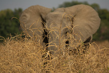 Blurred Elephant With Open Ears Behind Bushes
