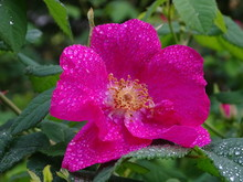 Pink Wild Rose With Rain Drops In Nature