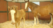 Young Baby Colt With Mother Ho...