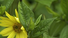 Pan Towards A Yellow Daisy Flower With A Fly Sitting On The Petals, And Then Tilt Up A Leaf To A Ladybug Nearby