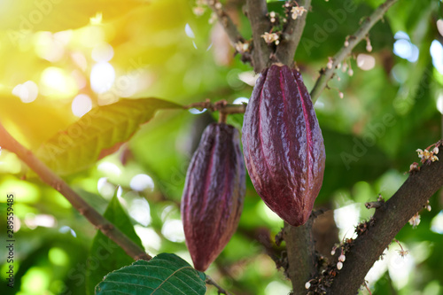 Fotomural Red cacao pod on tree branch