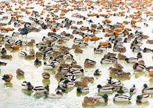 Colony Of Wintering Ducks And ...
