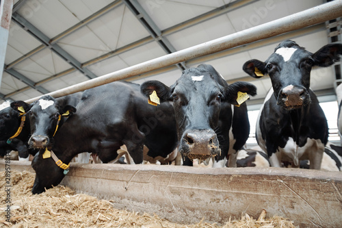 Photo Stands Cow Row of several milk cows muzzles looking at you while standing by fence