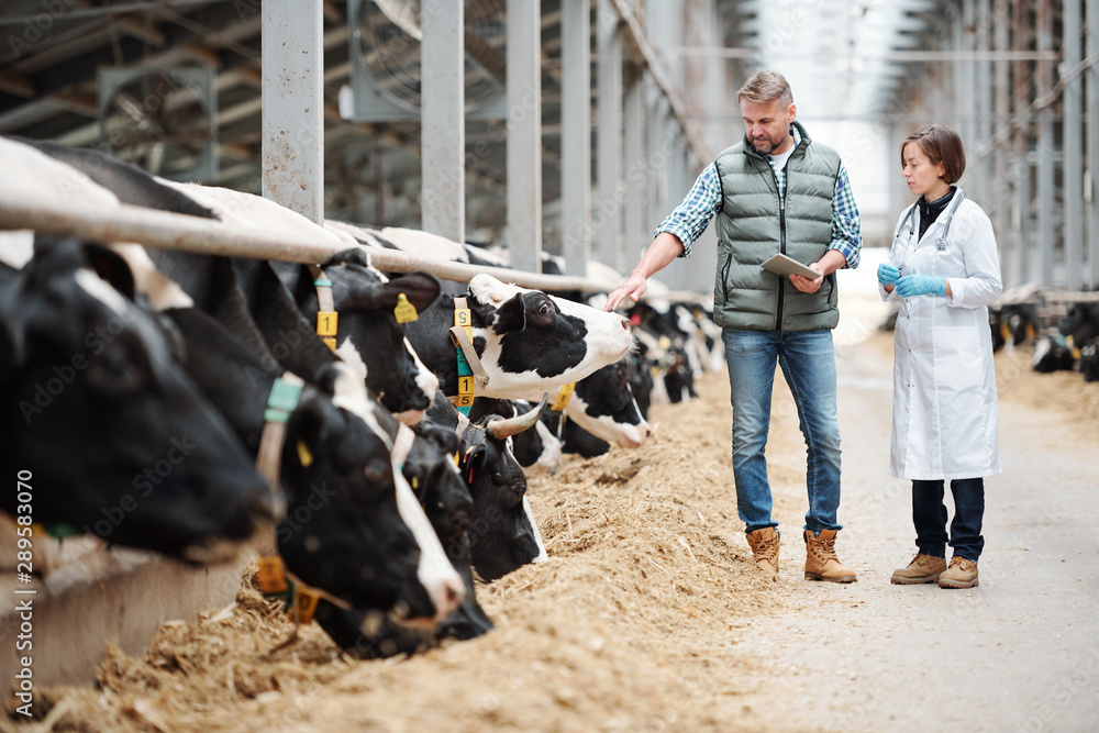 Fototapeta Mature head of large dairy farm consulting with veterinarian by cowshed