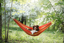 Dog In A Hammock On The Nature. Australian Shepherd Is Resting.