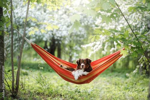 Fotografie, Obraz dog in a hammock on the nature. Australian Shepherd is resting.