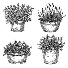 Set Of Garden Plants. Aromatic Herbs In Large Pot. Laurel, Lavender, Mint And Sage.  Sketch. Engraving Style. Vector Illustration.