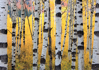 FototapetaSurreal yellow aspen forest in the Wasatch Mountains, Utah, USA.