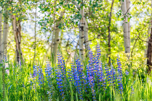 Fototapeta Group of purple lupine flowers in small forest in Snowmass Village in Aspen, Colorado and many colorful wildflowers in Aspen grove obraz