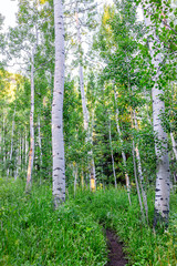 Fototapeta Brzoza Aspen forest trees pattern in morning sunlight in summer on Snowmass Lake hike trail in Colorado in National Forest park mountains with green color