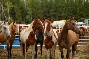 A holding pen of horses with a matching pair of brown and white spotted standing close together