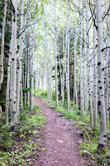Fototapeta Brzoza Green Aspen trees dark forest vertical view on Snowmass Lake hike trail in Colorado in National Forest park and dirt road