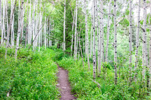 Aspen Forest And Wildflowers In Morning In Summer On Snowmass Lake Hike Trail In Colorado In National Forest Park