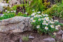 Alpine Daisy Flowers Closeup O...