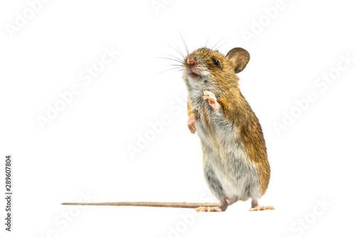 Photo Erected mouse isolated on white background