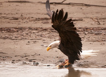 Bald Eagle With Salmon In Haines, Alaska