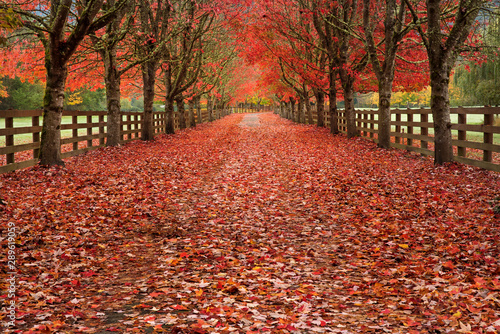 Papiers peints Rouge traffic Colorful fall scenes. Tree lined driveways filled with bright reds and oranges. Vanishing point autumns scene