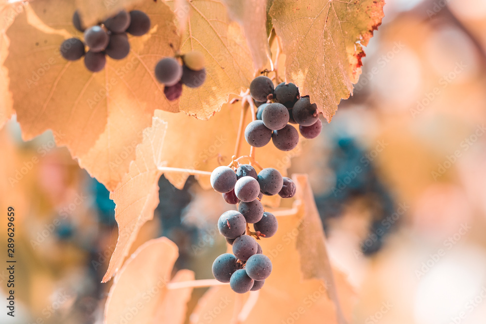 Fototapety, obrazy: Autumn background with red grapes in a vineyard