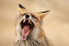 Portrait Of A Red Fox Yawning
