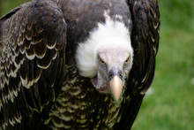 Close-up Of A Vulture Looking With Intense Yellow Eyes.