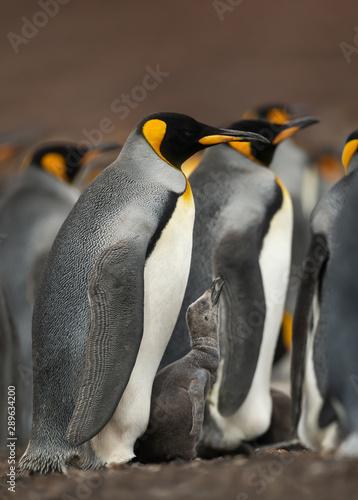 Fényképezés  Close up of a King penguin chick asking for food