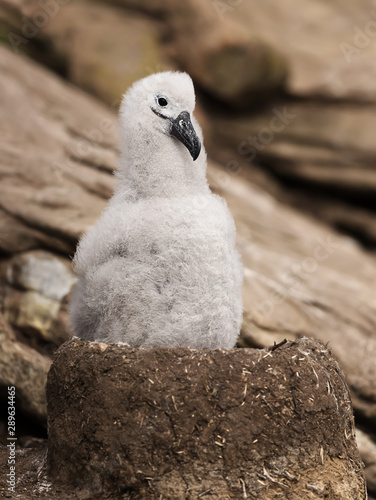 Vászonkép  Young Black-browed Albatross chick sitting in its mud cup nest