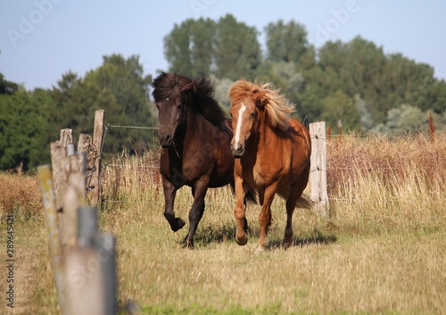 Fotografía two different brown icelandic horses are running together on the paddock