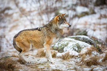 Focused and scared wolf in the forest in early winter