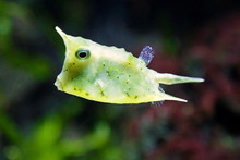 Close Up Of A Longhorn Cowfish...