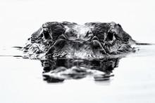 American Alligator Eyes