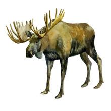 Watercolor Illustration. Elk. ...