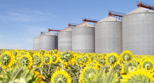 Metal Silo Of Corn, Wheat And Sunflowers With Blue Sky.