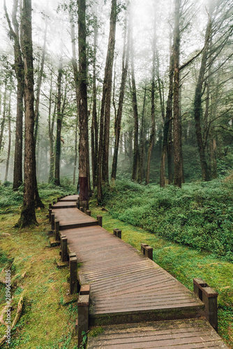 Wooden walkway that leads to Cedar and Cypress trees in the forest with fog in Alishan National Forest Recreation Area in Chiayi County, Alishan Township, Taiwan.