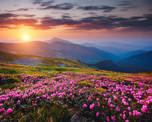 The Magic Rhododendron Blossoms In The Springtime. Location Carpathian National Park, Ukraine, Europe.