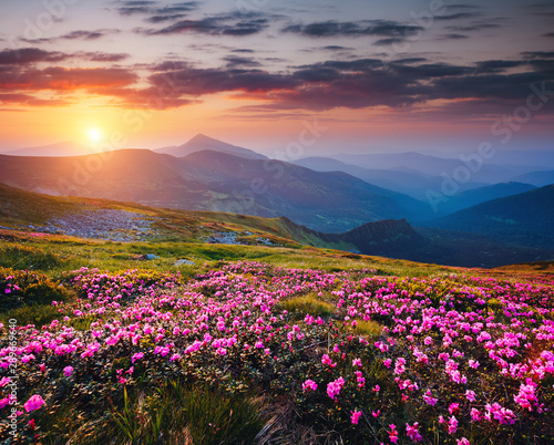 Wall mural - The magic rhododendron blossoms in the springtime. Location Carpathian national park, Ukraine, Europe.