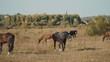 horses graze outdoors in the autumn field