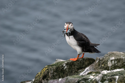Puffin standing on a rock with sand eels in its mouth and the ocean in the background Wallpaper Mural