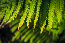 Close-up Image Of Green Fern L...