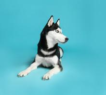 Cute Siberian Husky Dog On Blue Background