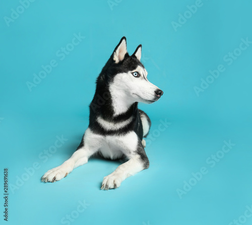 Tablou Canvas Cute Siberian Husky dog on blue background