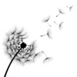 Vector Dandelion silhouette blowing dandelion flying aircraft has been decorated with black paint outdoors on a white background.