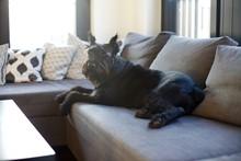 Black Giant Schnauzer Resting At Home