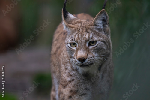 lynx, Lynx, close up portrait during a bright autumn day in September. #289695476