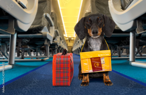 Canvas Prints Crazy dog dog as pet in cabin in airplane